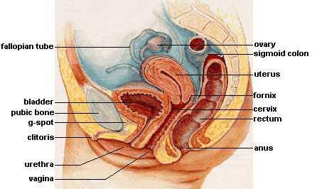 g punkter kvinder før menstruation
